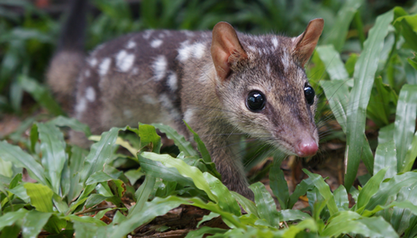 Alumni and giving lessons from australias animals quoll sciox Gallery
